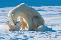 27 февраля - Международный день белого медведя!